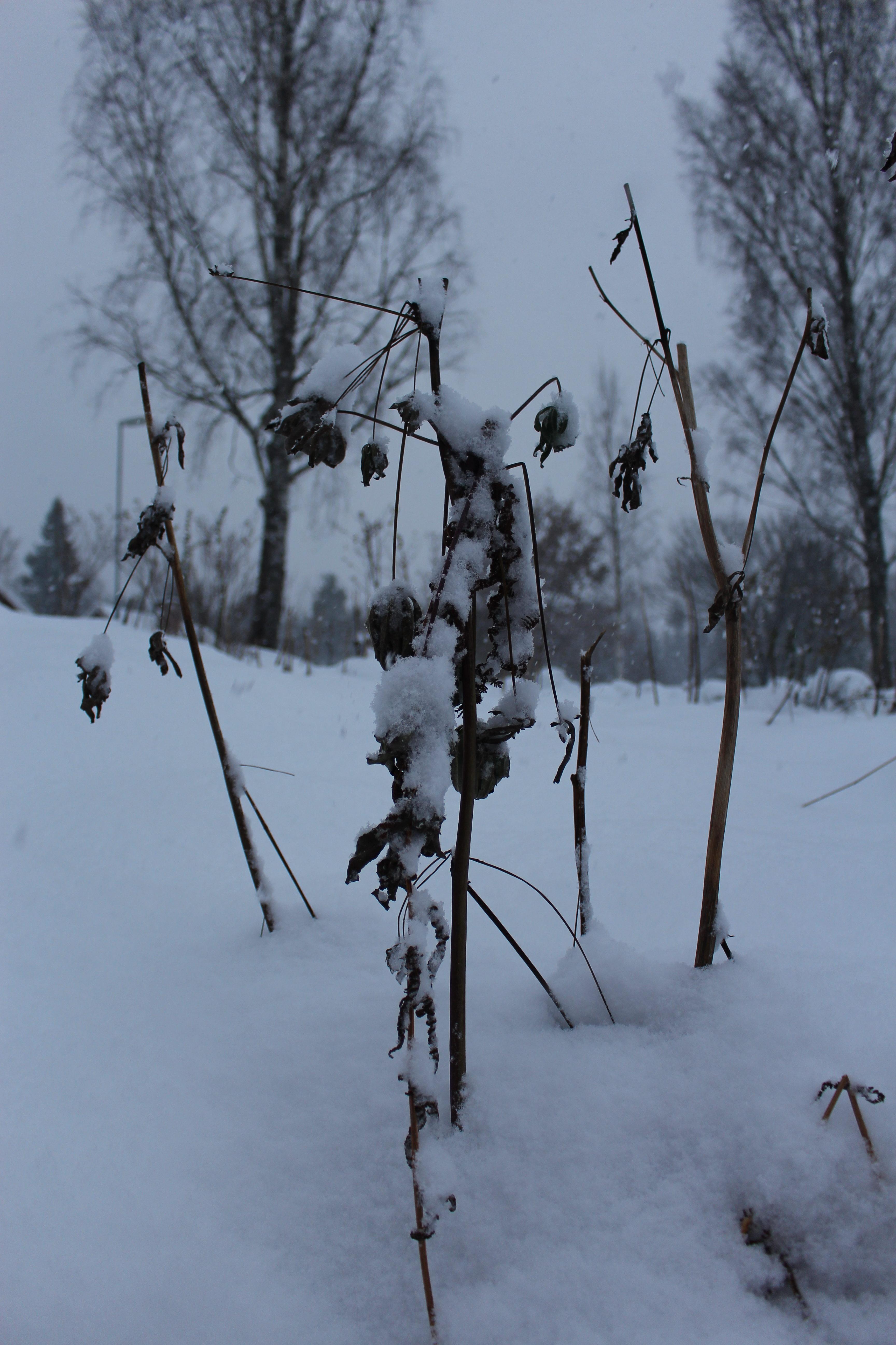 Vissna och brutna grenar i snön